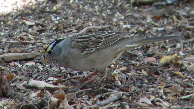 Golden-crowned X White-crowned Sparrow