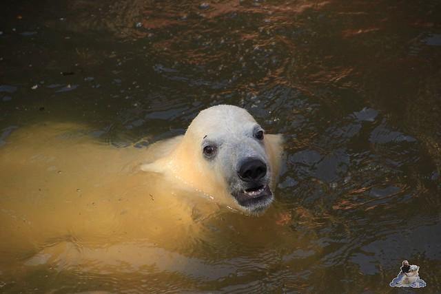 Eisbär Fiete im Zoo Rostock 23.05.2015 252