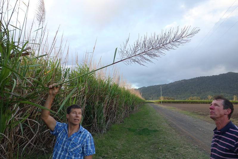 pete and simon with a flowering stalk of sugar cane