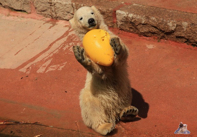 Eisbär Fiete im Zoo Rostock 24.05.2015 234