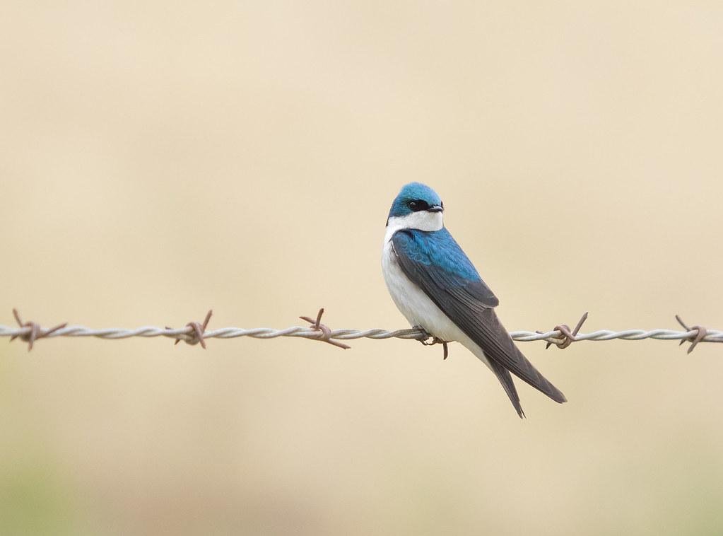 Bird on a Wire | Tree Swallow (Tachycineta bicolor ...