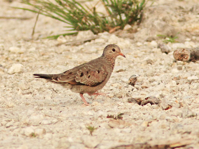Ground Dove 2-20150526