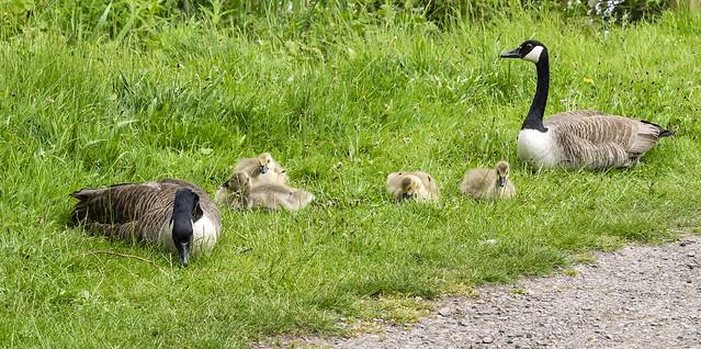 canada goose 462 (29)
