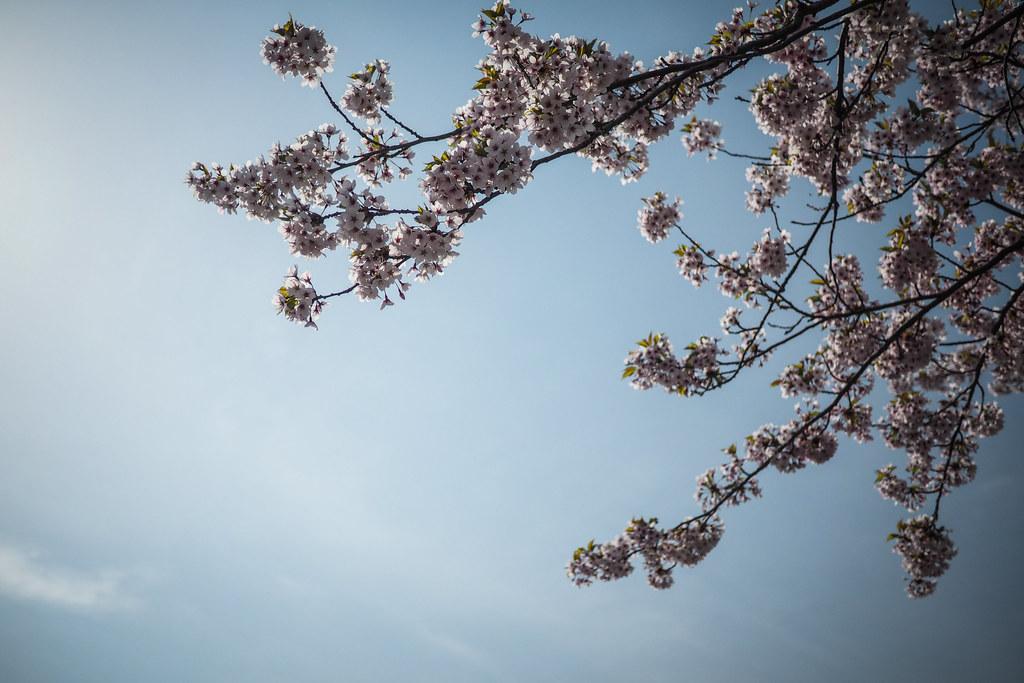 Cherry blossom sakura near Assabu, Hokkaido, Japan
