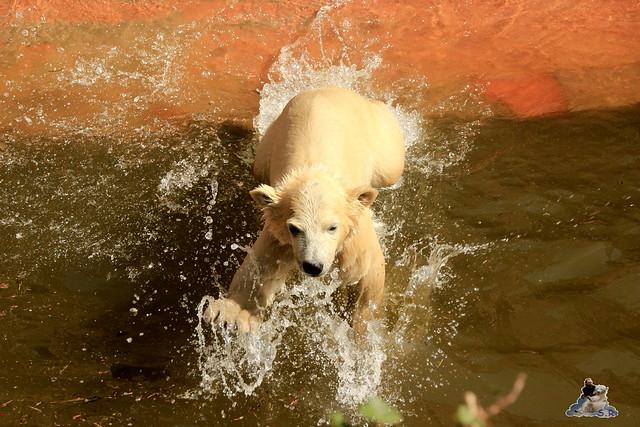 Eisbär Fiete im Zoo Rostock 03.05.2015  20