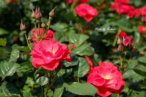 薔薇 -山下公園-