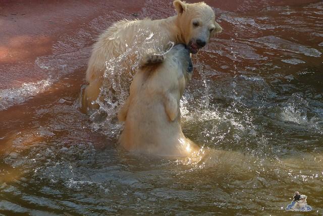 Eisbär Fiete Zoo Rostock 03.05.2015 Teil 1  25