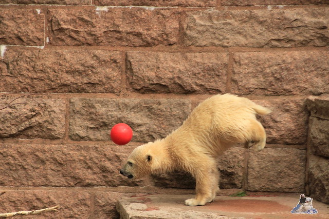 Eisbär Fiete im Zoo Rostock 24.05.2015 103