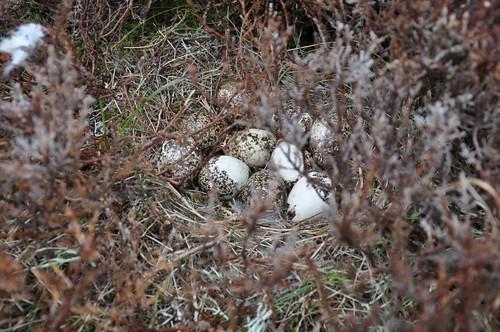 Ptarmigan nest