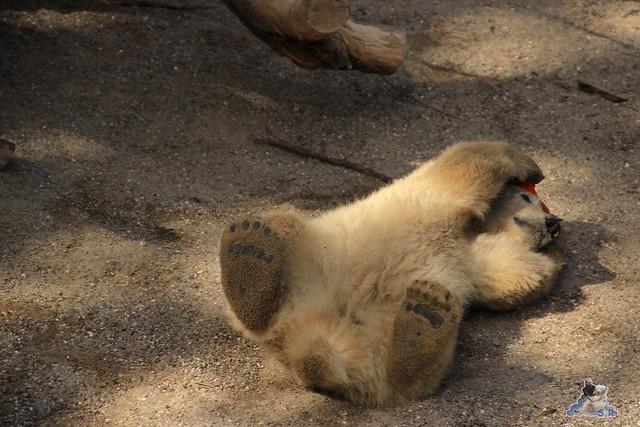 Eisbär Fiete im Zoo Rostock 23.05.2015 171