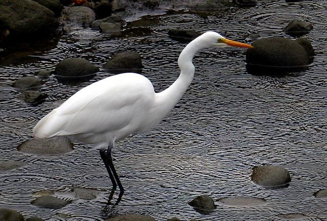 The White Heron (Kotuku) NZ