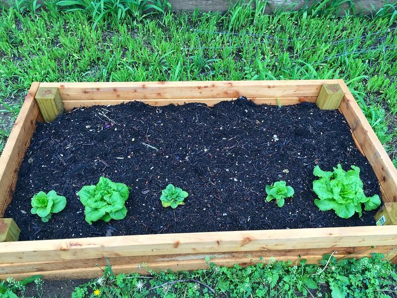 Lettuce, 3 weeks in