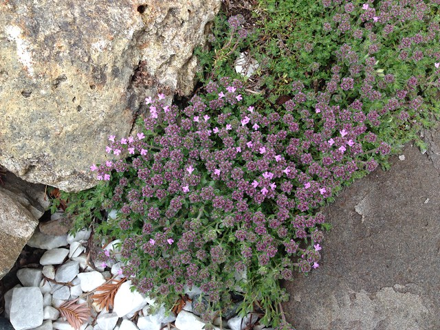 Creeping thyme- starting to bloom.