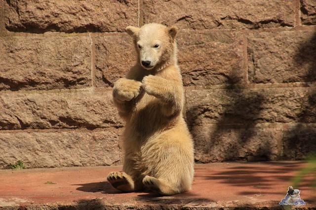 Eisbär Fiete im Zoo Rostock 24.05.2015 128