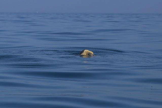 Holbox whale shark swimming