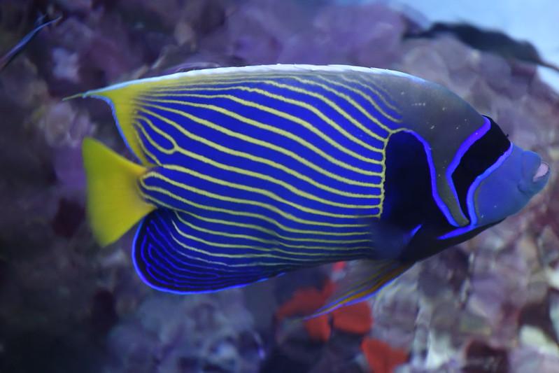 angelfish in Great Barrier Reef aquarium Townsville