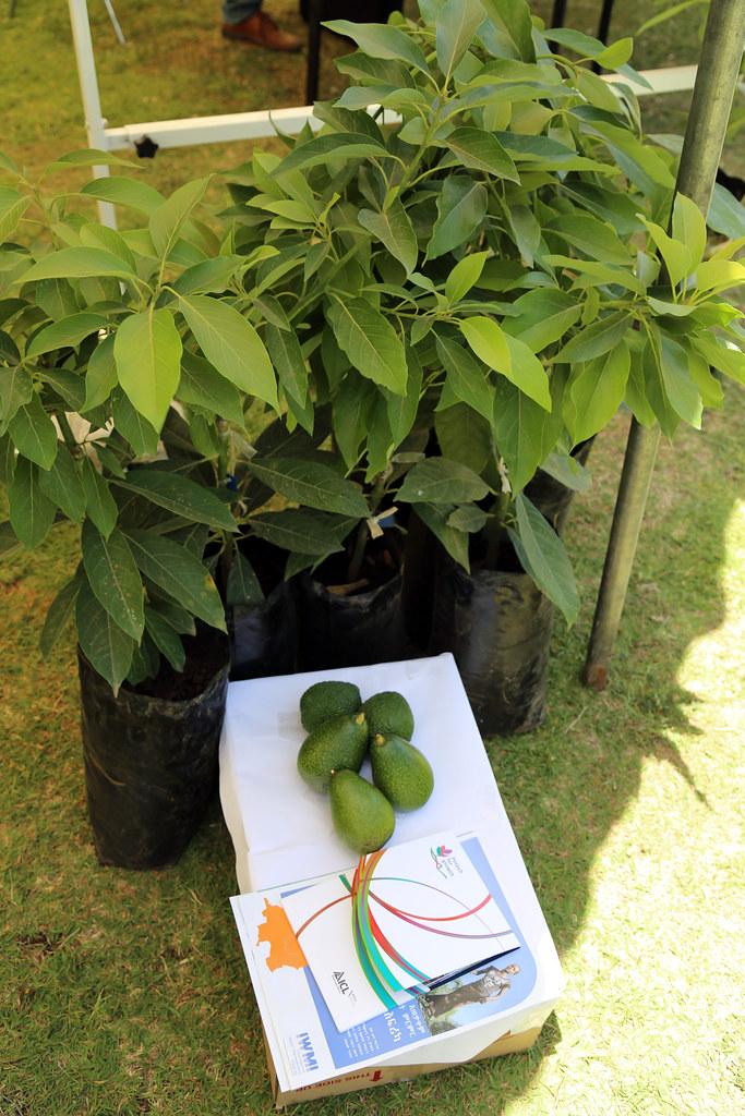Avocado plant ready for plantation | The Farmers' Horticultu…