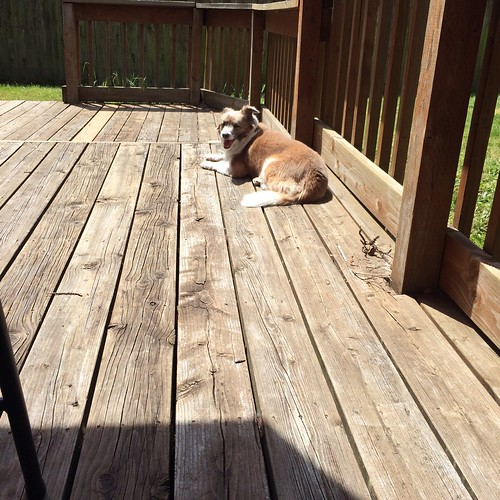 A small brown dog with white feet and tail lying in the sun on a wooden deck. The dog is far from the camera.