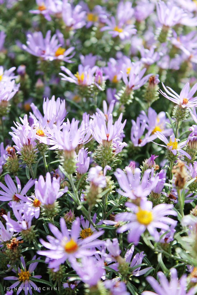 wild asters portrait