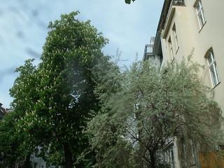Kastanie und Prunus