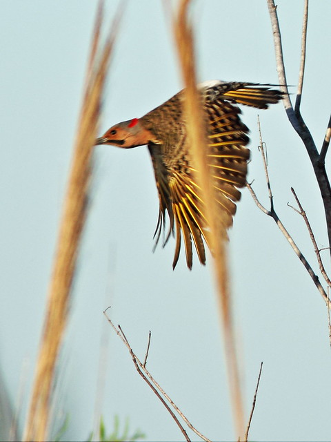 Northern Flicker bad shot 20150529