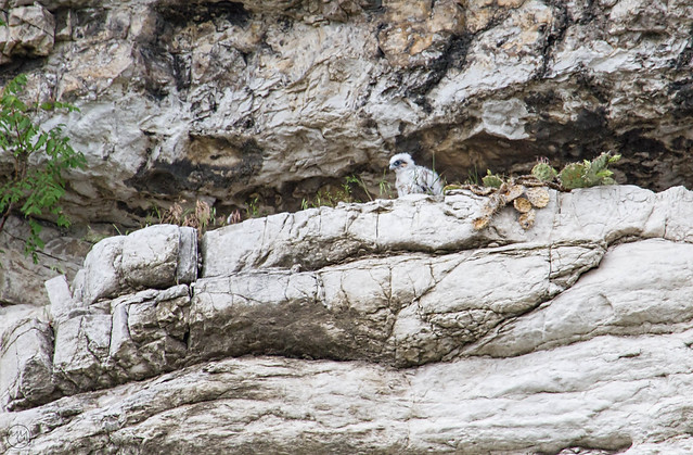 Peregrine Falcon Chick 31 May 15