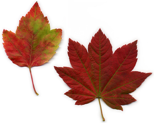 scan of red maple leafs