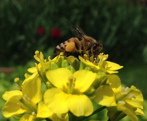 Honeybee on pak choi flowers
