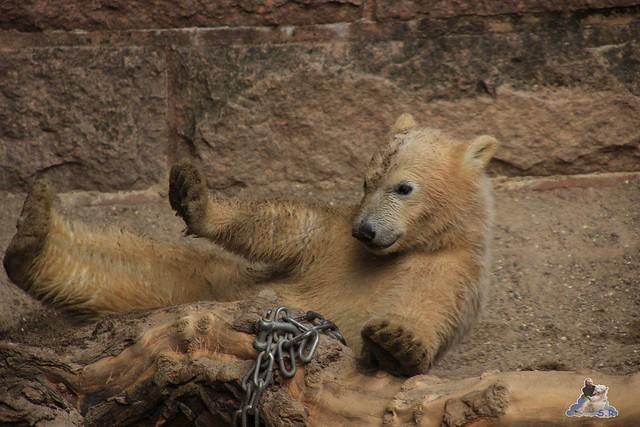Eisbär Fiete im Zoo Rostock 24.05.2015 268