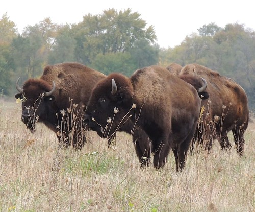 Bison grazing near a trailhead