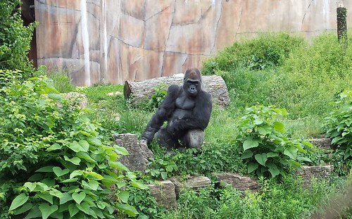 The most interesting gorilla in the world