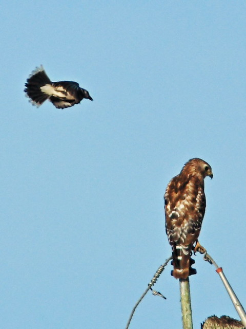 Blue Jay attacks Red-shouldered Hawk 3-20150601