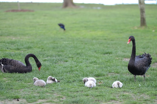 Black swans with their baby cygnet