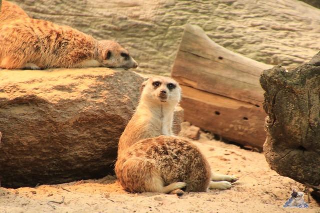 Eisbär Fiete im Zoo Rostock 24.05.2015 162