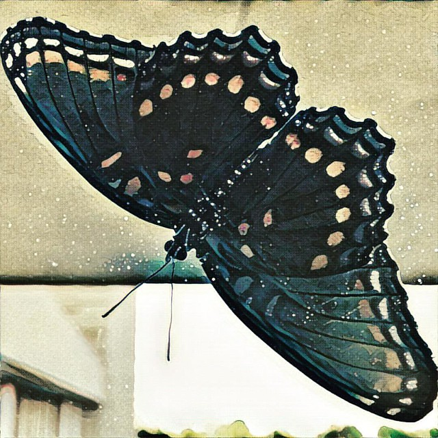 Red-spotted Purple through the Window