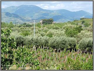 אחד מהכרמים של טרה נרה. ניתן לשים לב לשונות בין הכרמים ולצמחייה ועצי הפרי החיים עם הגפנים בהרמוניה.