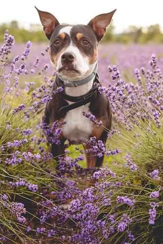 Lavender-2436