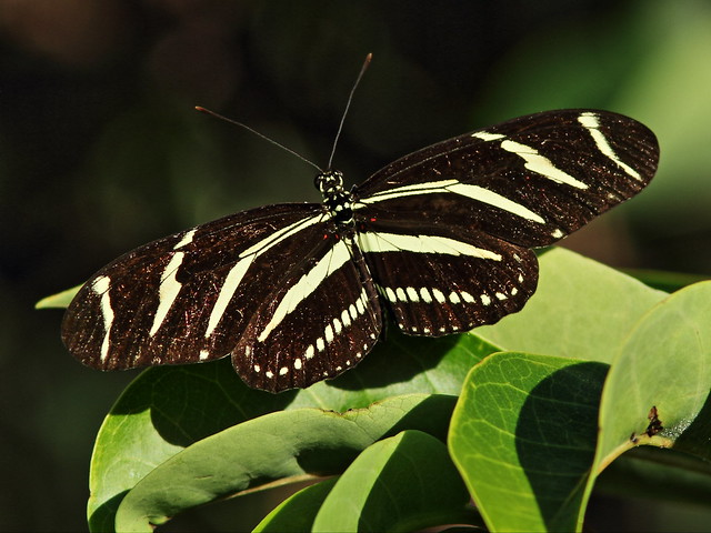 Zebra heliconian 2-20150529