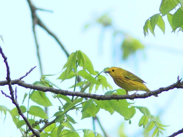 Yellow Warbler 2-20150518