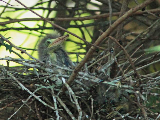 Green Heron nestling 2-20150525