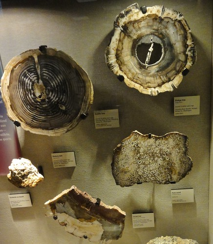 Image shows several round slices of petrified wood pinned to a wall.