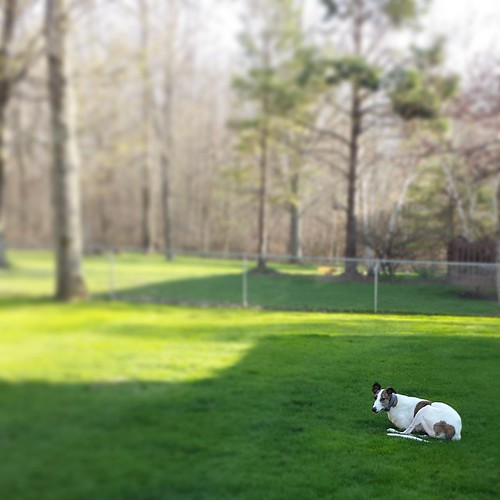 Cane likes his yard. #Cane #DogsOfInstagram #greyhound