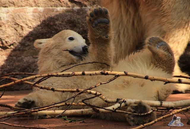 Eisbär Fiete im Zoo Rostock 03.05.2015  66