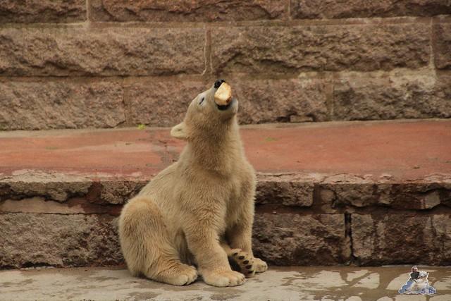 Eisbär Fiete im Zoo Rostock 24.05.2015 41