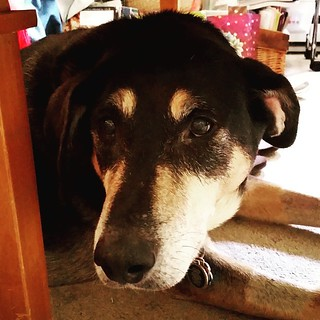A Tuesday that feels like a Monday = Tut trying to hide from it. #dogstagram #instadog #coonhoundmix #seniordog #adoptdontshop #rescueddogsofinstagram #ilovemyseniordog #ilovebigmutts #muttstagram
