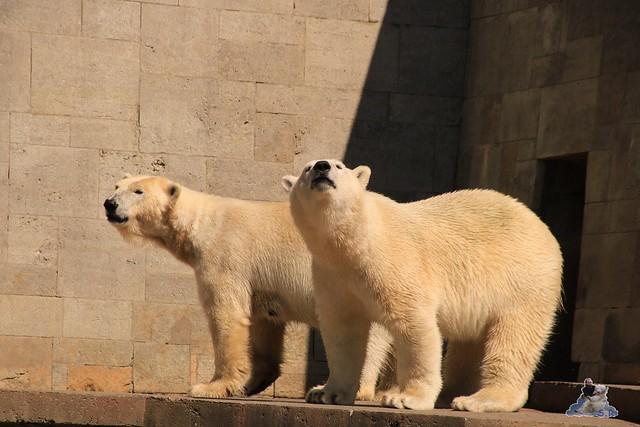 Eisbär Fiete im Zoo Rostock 04.06.2016   0239