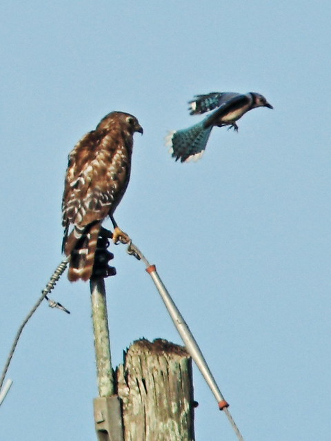 Blue Jay attacks Red-shouldered Hawk 4-20150601