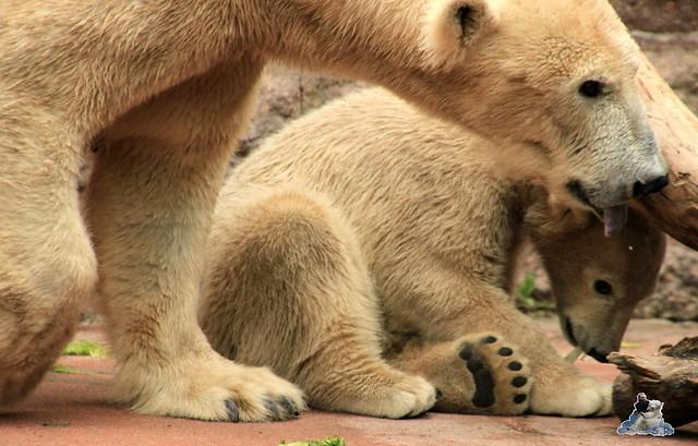 Eisbär Fiete im Zoo Rostock 24.05.2015 26