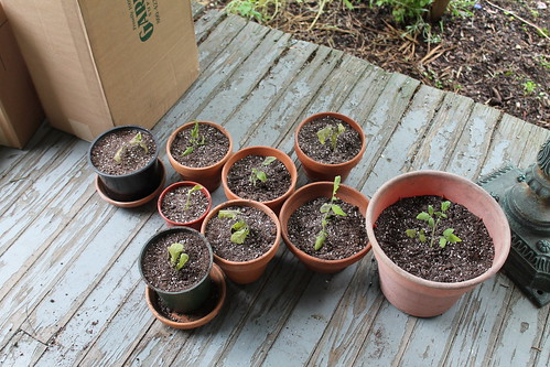 transplanted tomato cuttings