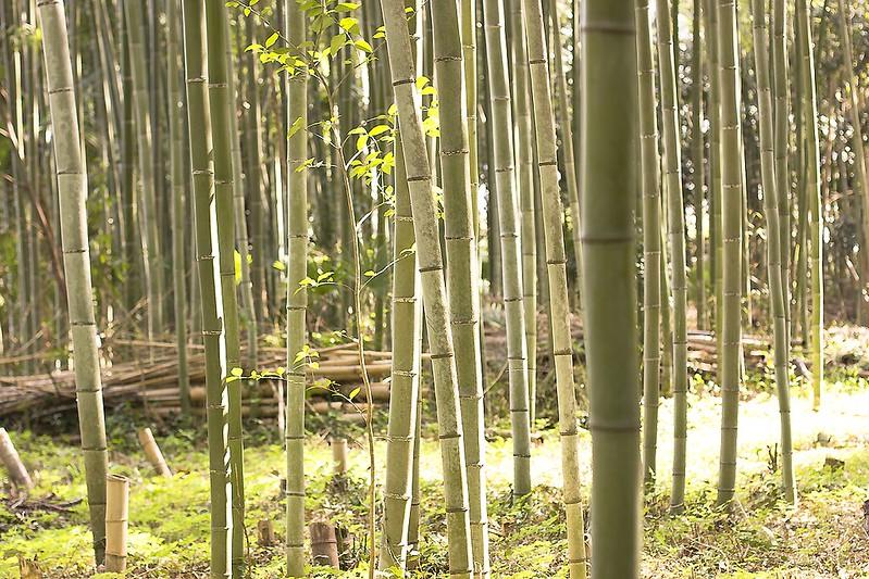 bamboo walk tenryuji ukyo-ku japan kyoto bamboo groves nature